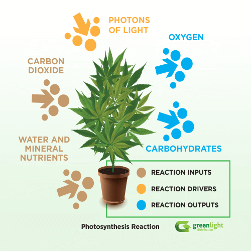 photosynthesis in a cannabis plant